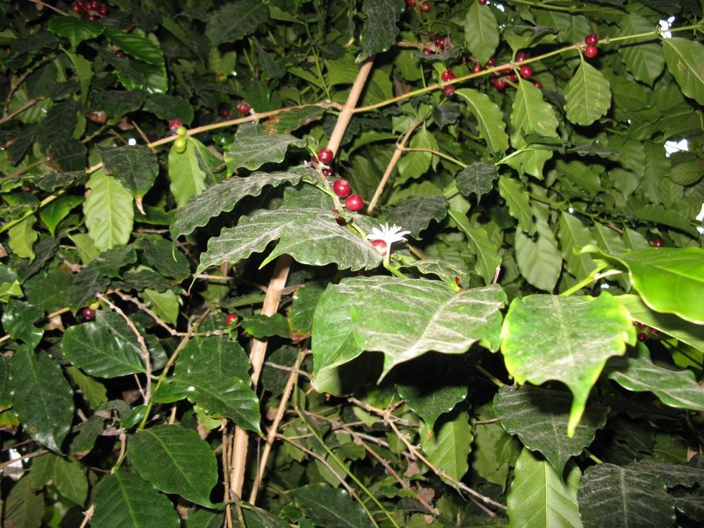 ботанический сад плоды кофе