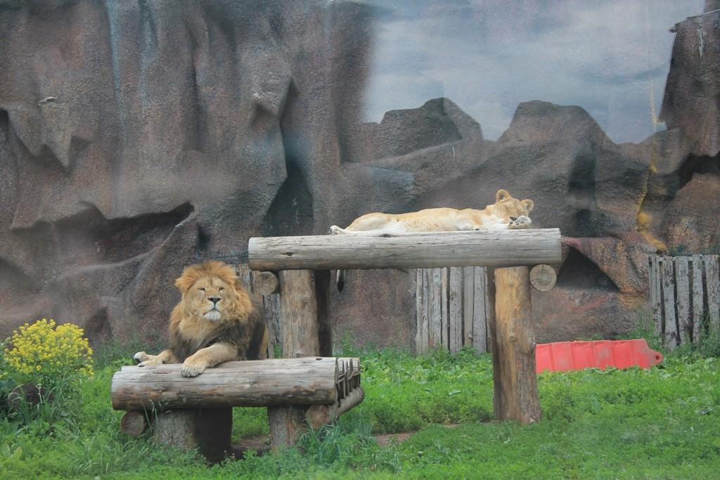 Лев в вольере