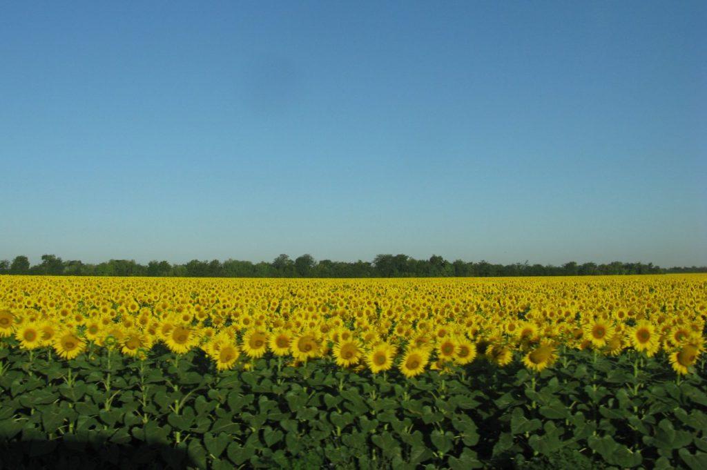 Просто красивое поле подсолнухов