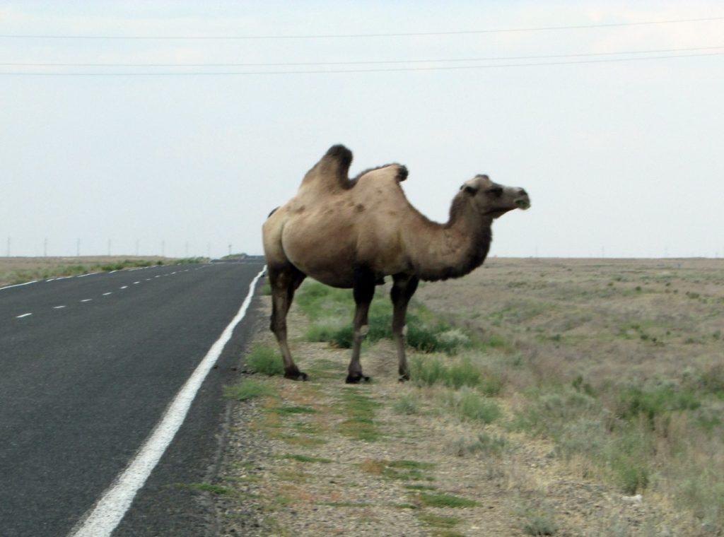 И снова блуждающие верблюды