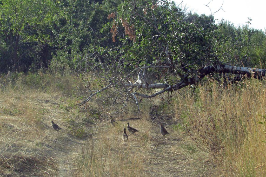 Выводок куропаток