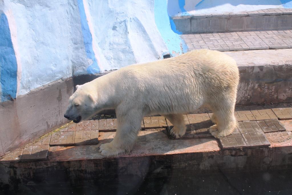 Белый медведь-папа